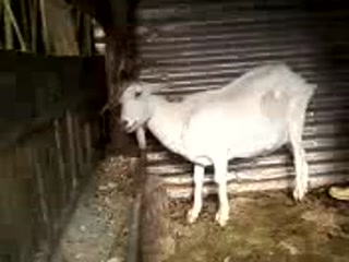 Asian goat small
