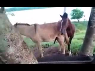 horse to horse sex