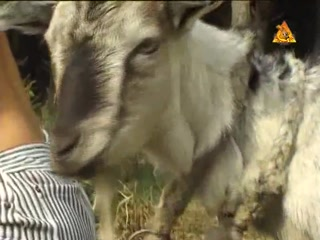 guy sex with goat porn