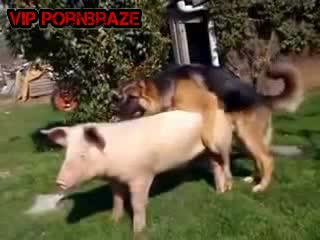 dog fuck pig - HD Porn - Porn Tubes Video Sex | Pornbraze.com->
